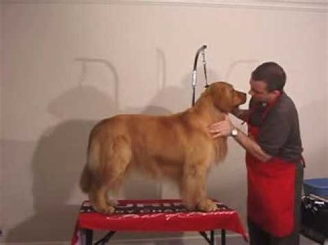 golden retriever grooming guide grooming golden retriever the winning way