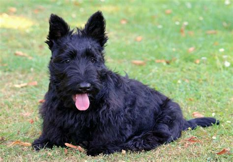 akc scottish terrier puppies for sale scottish terrier puppies for sale akc puppyfinder