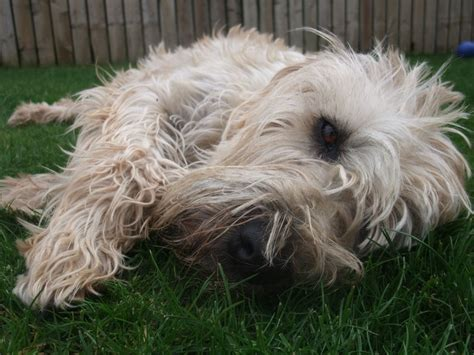 soft coated wheaten terrier puppies for adoption soft coated wheaten terrier puppies for sale rothesay isle of bute pets4homes