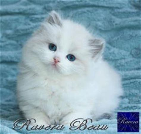 ragdoll puppies ragdoll cat breeders australia ragdoll kittens for sale
