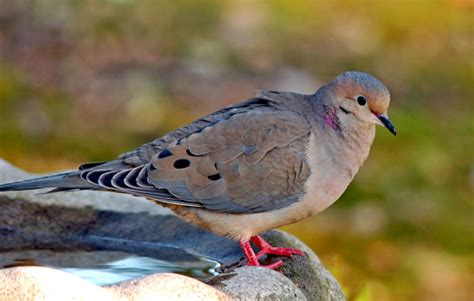 mourning dove facts anatomy diet habitat behavior