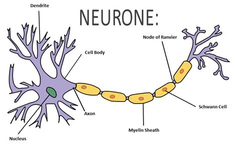 nerve cell diagram image gallery nerve cell
