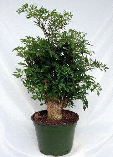 Indoor Japanese Plants by 12 Best Images About Aralia Plant On Pinterest