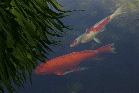 gambar ikan koi animasi bergerak gambar animasi ikan koi