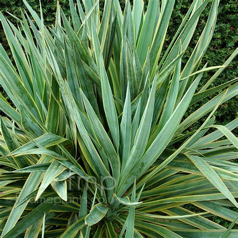 plant pictures yucca gloifolia marginata