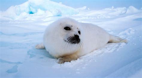 imagenes de focas blancas fotos de focas