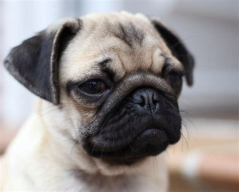 why pugs are the best dogs why pugs dogs are the family pet pethelpful