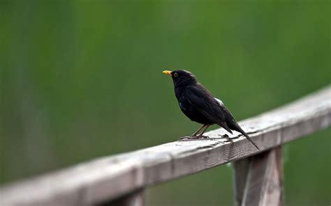 wallpaper black bird parrot wallpaper 1600x1200 46530