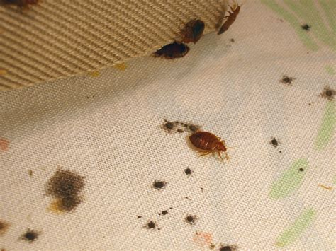 pic of bed bug disease outbreak control division bed bugs