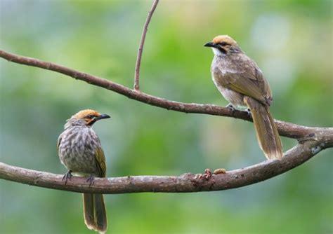 Tang Burung Ukuran 10 Merek Tekiro cara perawatan burung cucak rawa yang baik gemarburung