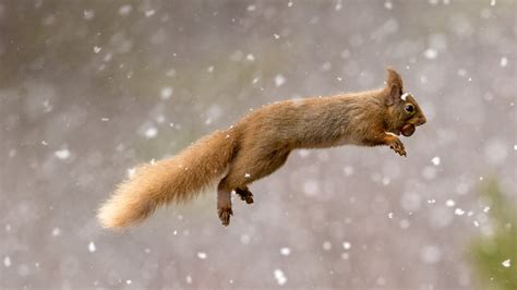 Bing Pictures As Wallpaper Squirrel | eurasian red squirrel scotland 169 jules cox minden