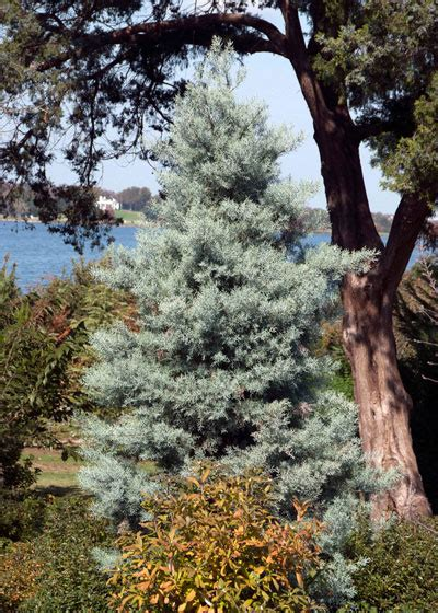 decorated blue arizona cypress living trees neil sperry s gardens