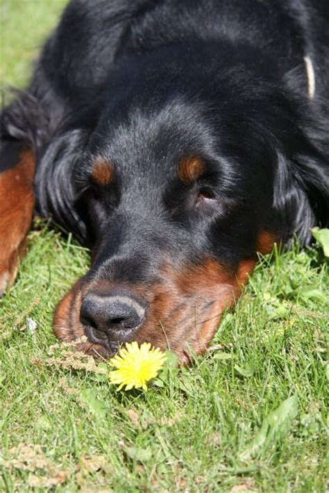 gordon setter dog names gordon setter dog art portraits photographs information