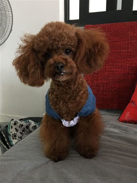 french puddle hair cut 17 best images about japanese poodle style on pinterest