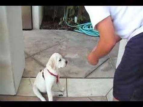 3 month lab puppy 3 month labrador retriever puppy doing tricks