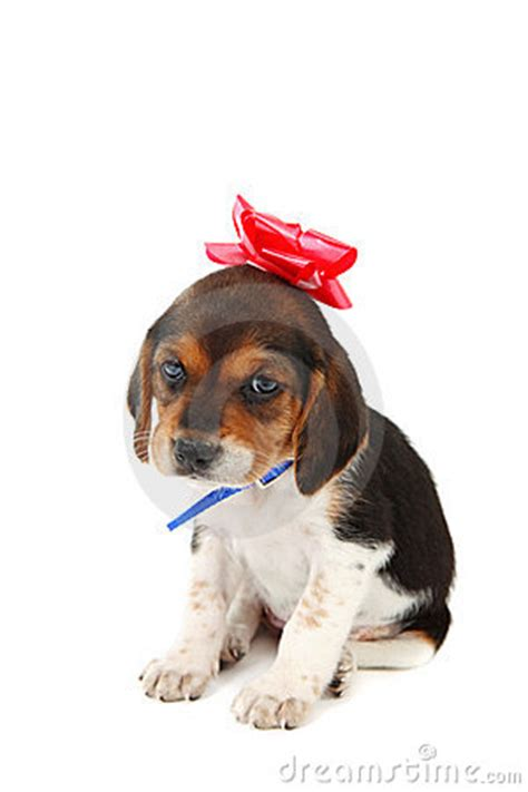 puppy with bow beagle puppy with a bow on stock image image 7565361