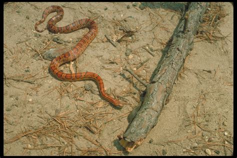 Time To Be A Real Snake by About Corn Snakes