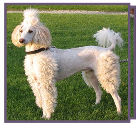 poodle cuts exles grooming poodle mojo