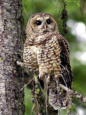 wisconsin owls identification barred owl vs spotted owl can killing members of one species help save another l a