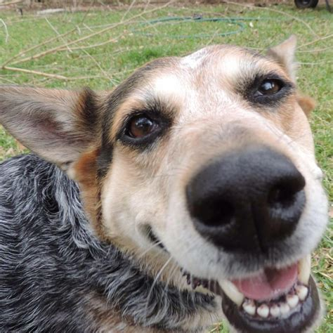 newly adopted dog barks whenever she hears anything or austin dog training cattle dog mix loves to hear herself