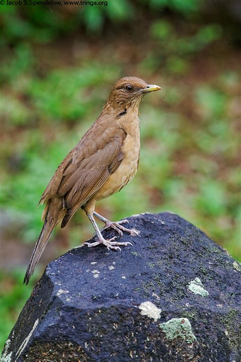 clay colored thrush clay colored thrush 7
