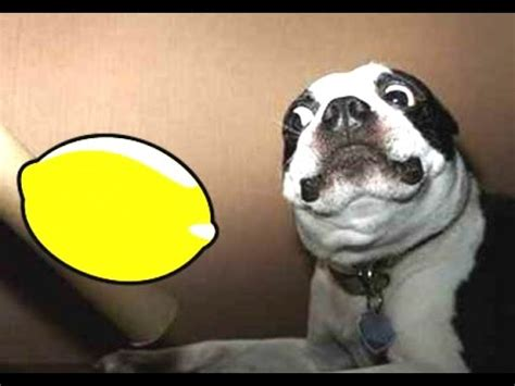 lemon puppy most dogs reacting to lemons compilation 2014 new
