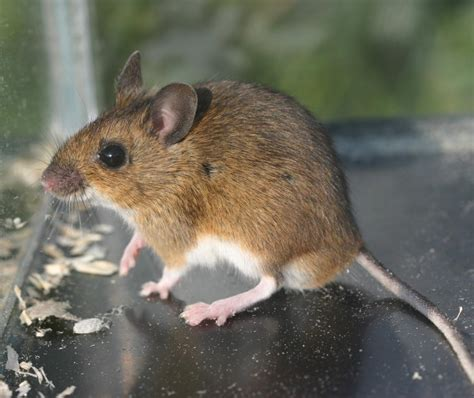 Garden Mouse by Wood Mouse Apodemus Sylvaticus Naturespot
