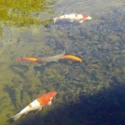 Klares Wasser Im Teich 1420 by Teichfilter Im Shop G 252 Nstig Kaufen F 252 R Koi Schwimm Und