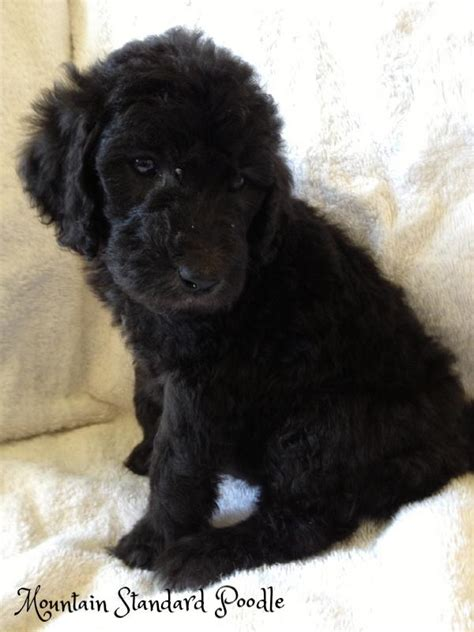 old fashioned dog grooming pictures for sale mountain standard poodle high quality standard poodle