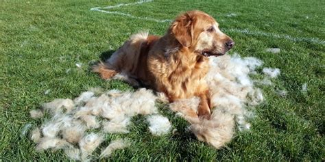 golden retriever shedding season golden retriever breed profile australian lover