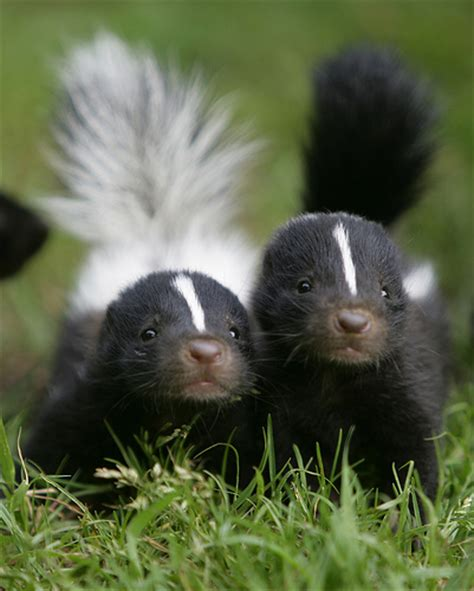 skunks cute animal wildlife the wildlife