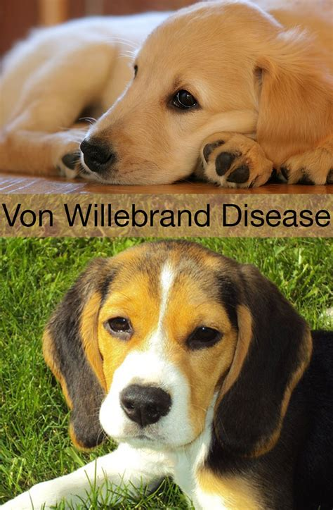willebrand disease in dogs willebrand disease in dogs symptoms treatment and prevention