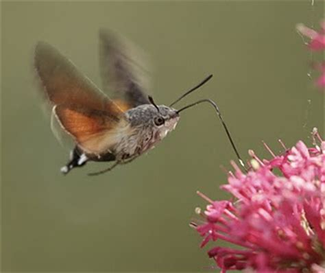 the phytophactor insect hummingbirds