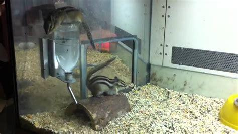 scoiattolo giapponese gabbia scoiattolo giapponese o chipmunk