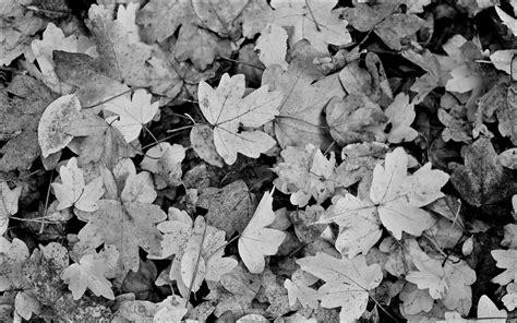 wallpaper black leaf autumn leaf black and white wallpaper