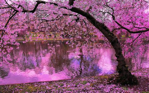 blossom trees spring blooming trees pink blossoms of cherry river
