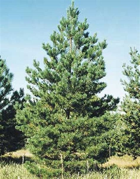 scotch pine trees pinus sylvestris scotch pine 50 seeds evergreen