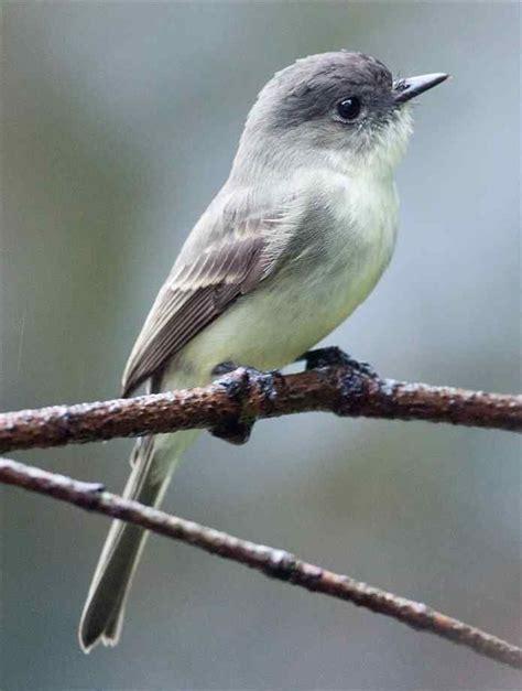 32 best ideas about arkansas birds on pinterest mallard
