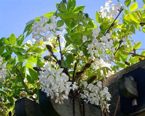 gardensonline wisteria brachybotrys