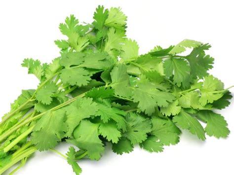 Cilantro Coriander Leaves 16 amazing benefits of cilantro or coriander organic facts