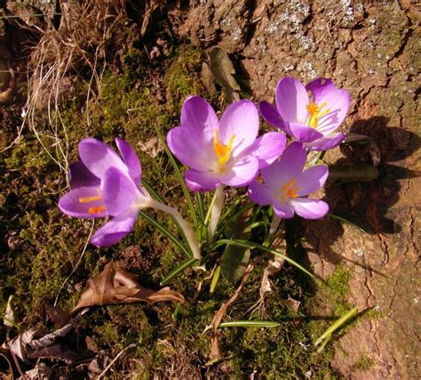 la flor del azafrn 1503953505 azafranes tierra de azafranes tierra de azafranes tierra de azafranes la flor del azafrn es