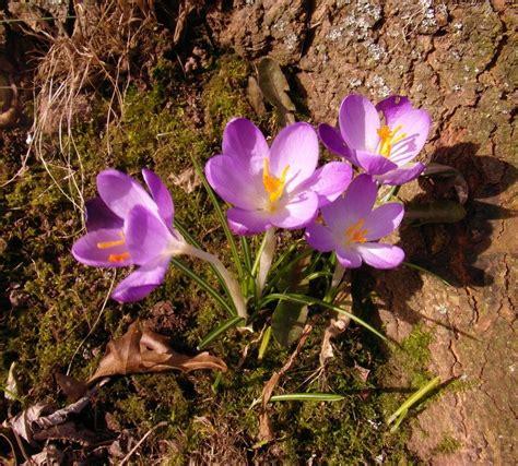 la flor del azafrn b0143cu0x2 azafranes tierra de azafranes tierra de azafranes tierra de azafranes la flor del azafrn es