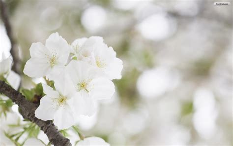 apple wallpaper white flower white flowers wallpapers wallpapersafari
