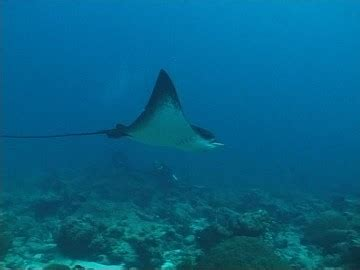 ray / indian ocean / maldives | sd stock video 138 887 695