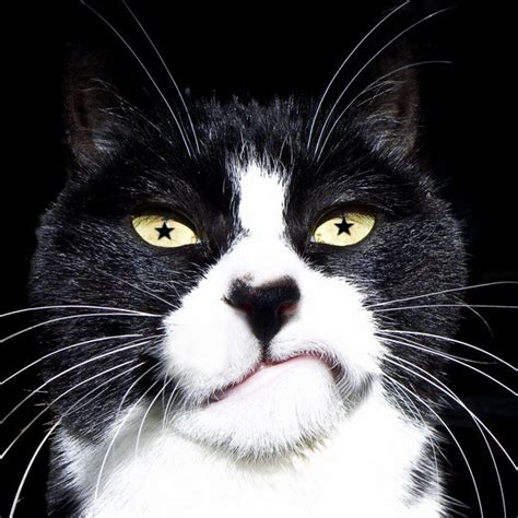 TUXEDO CAT FACTS and PERSONALITY   Tuxedo Cat Breed