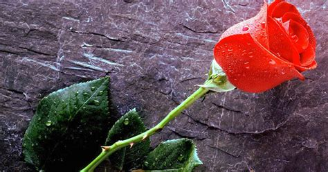 wallpaper romantis bunga setangkai bunga mawar indah nan cantik kumpulan gambar