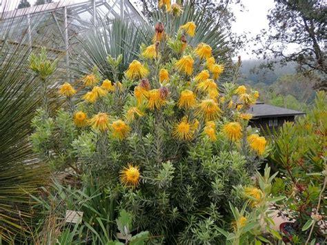 Uc Berkeley Botanical Garden Plantfiles Pictures Rocket Pincushion Leucospermum Reflexum Var Luteum By Kell