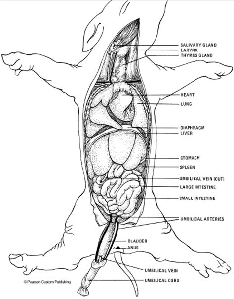 fetal pig excretory system diagram human anatomy charts page 10 of 351 inner anatomy