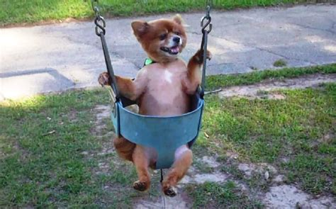 how long can i leave baby in swing quot dogs love swings compilation quot cfs youtube