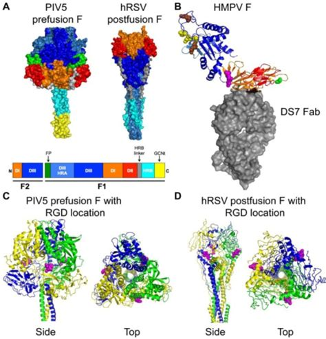 f protein paramyxovirus structures of paramyxovirus f proteins a the prefusi